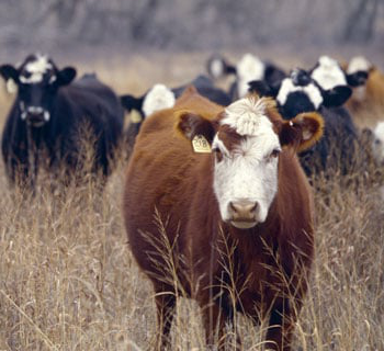 preview-cows-in-field